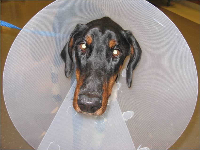 Oscar goes home after surgery with an Elizabethan collar to prevent him from licking the skin incisions.