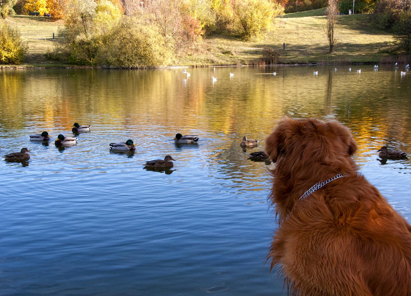 bigstock-Dog-Watching-Ducks-22854743.jpg