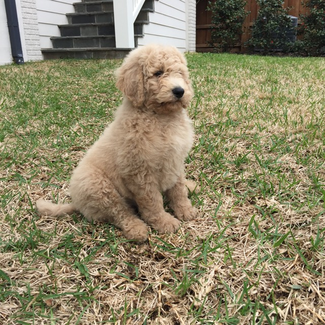 Max our Goldendoodle pup