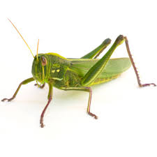Wisdom of theGrasshopper/Locust:     • Jumps across space and time  • Takes leaps of faith   • Has ability to change careers quickly    • Leaps over obstacles   • Jumps without knowing where it will land  • Takes new leaps forward