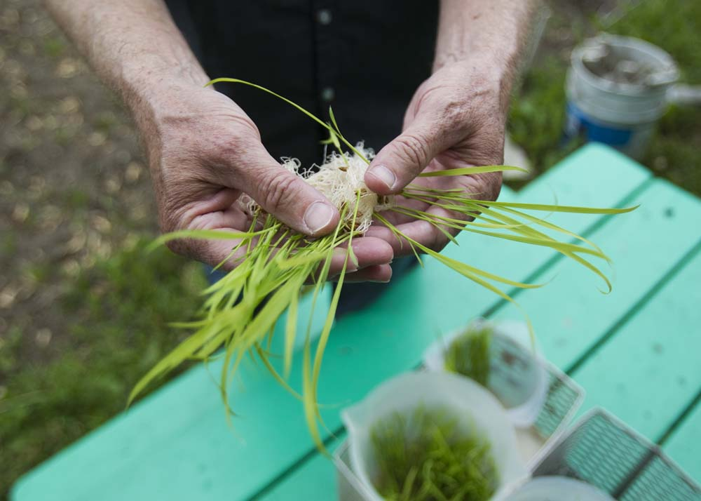 Michael Schlappi, Associate Professor of Biological Sciences at Marquette University, holds out one of the variations of rice planted in the Milwaukee Christian Center's community garden on Thursday, June 4, 2015. Schlappi is working on rice research in Wisconsin.