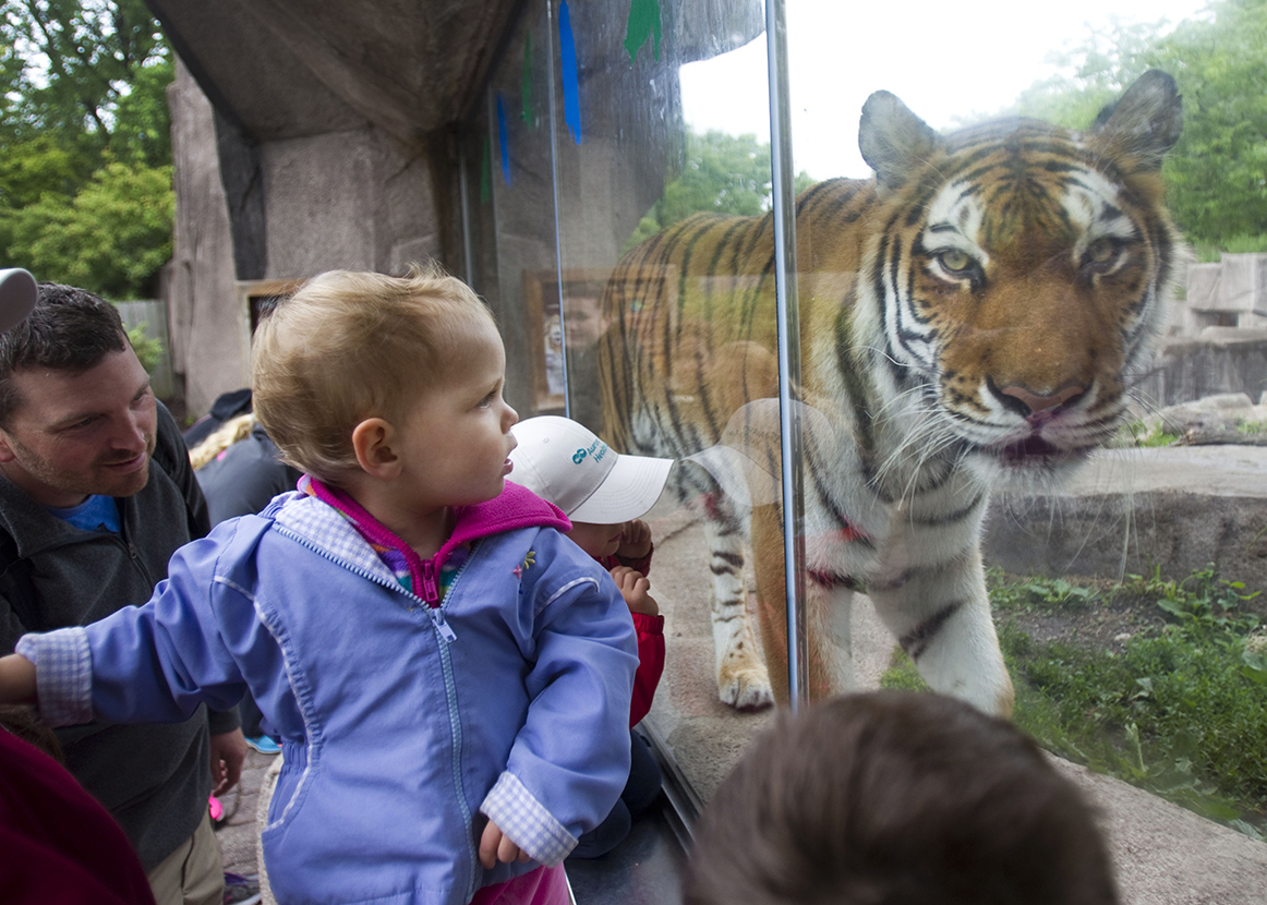 A tiger walks around as Evelyn Frommell, one, and her mother Bridgette watch during Enrichment Day at the Milwaukee County Zoo on Saturday, June 13, 2015.