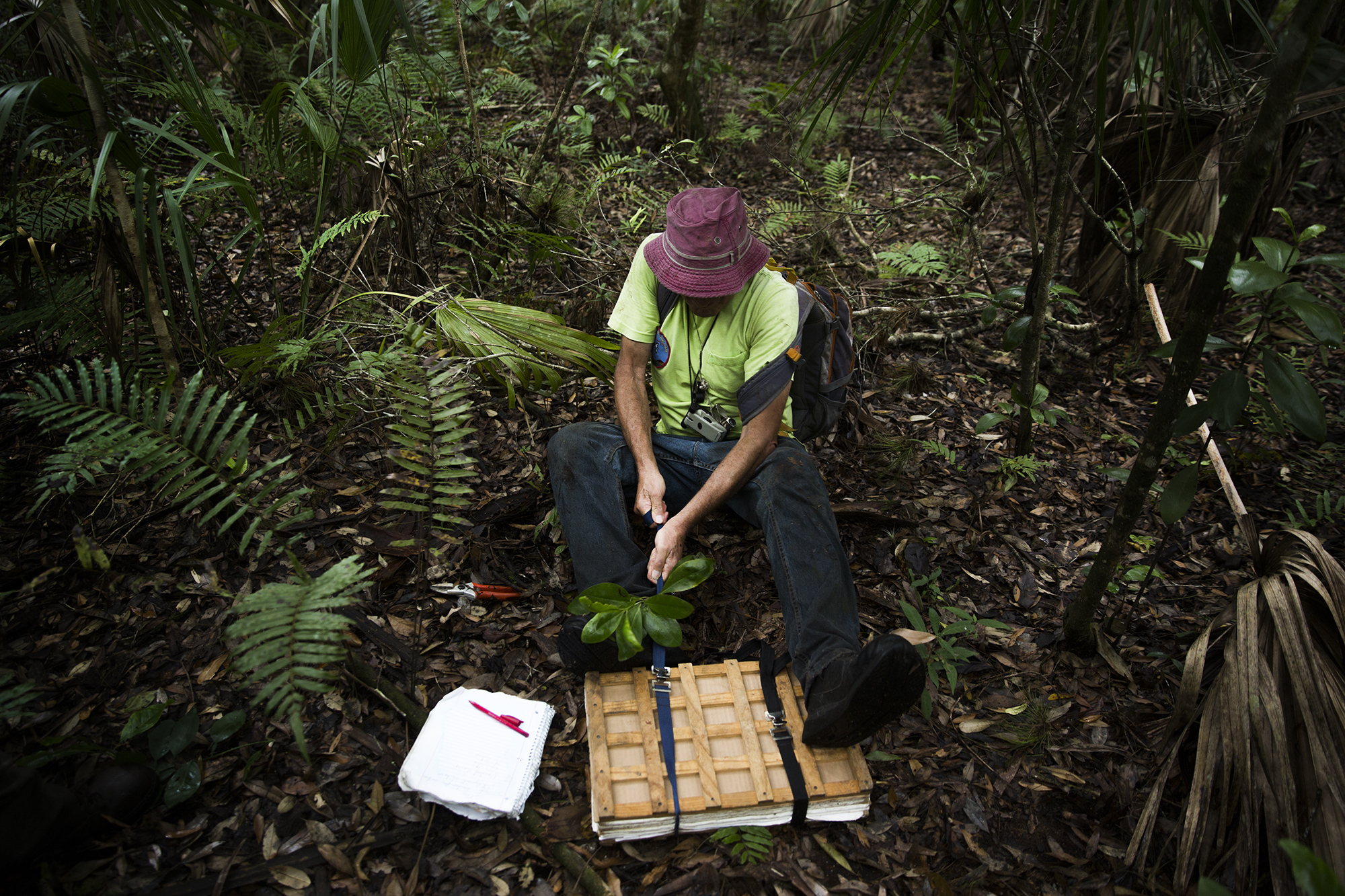 George Wilder tightens the straps on his book of plant specimen while conducting his research in Corkscrew Swamp Sanctuary. Wilder is currently identifying every plant within the sanctuary.