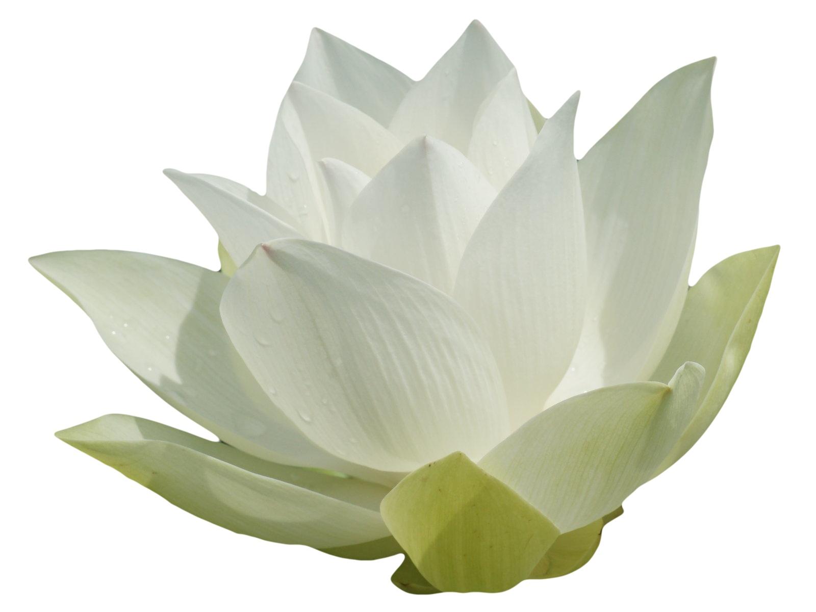 lotus-1b.jpg