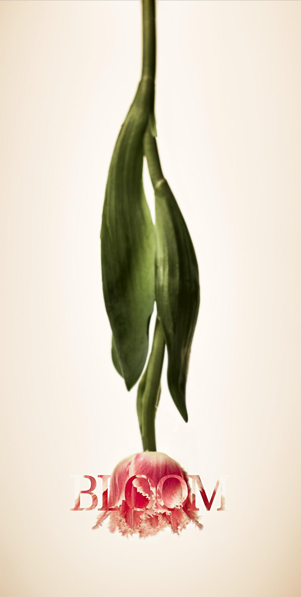Tulip White.jpg