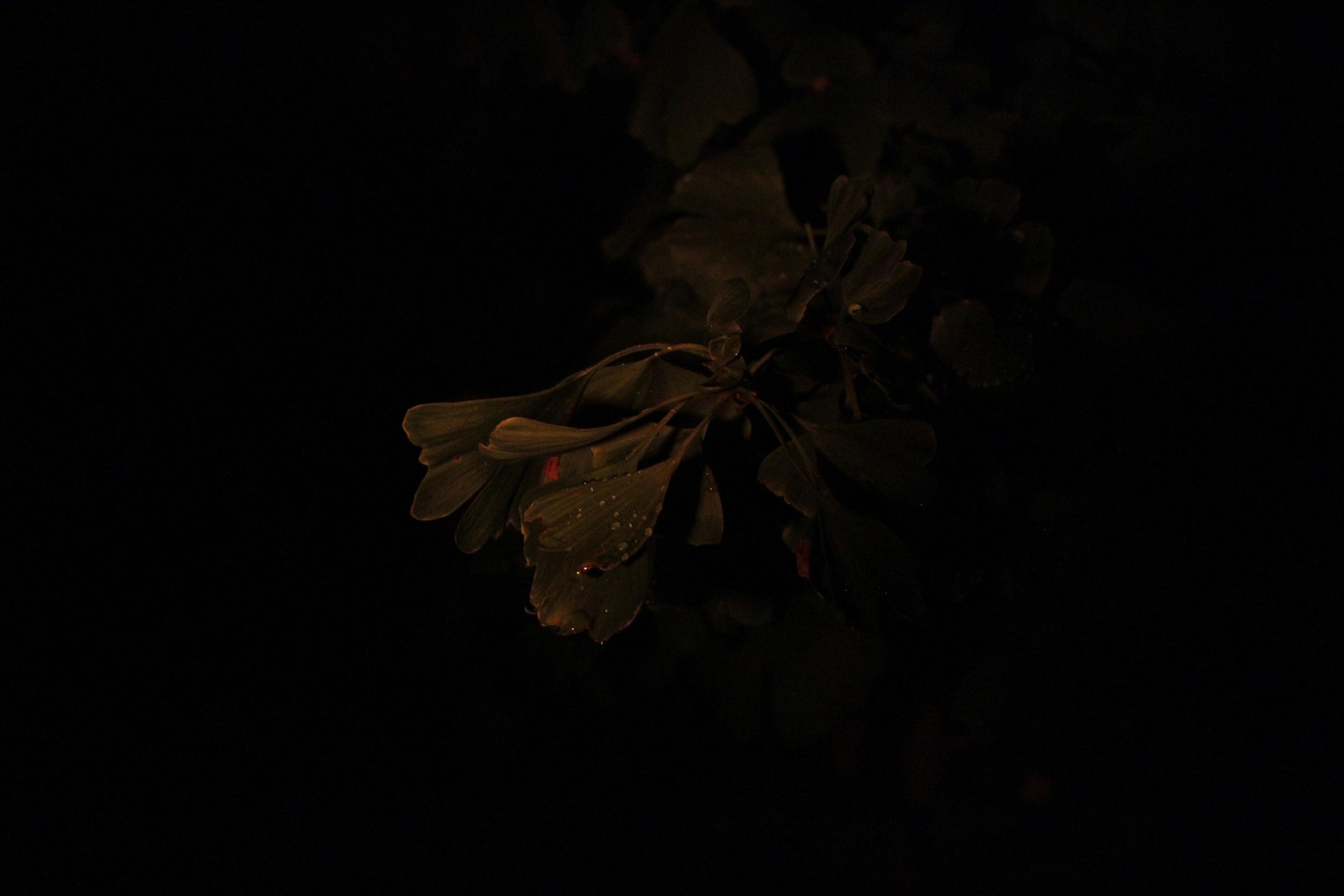 Gingko biloba (at night)