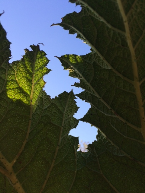 gunnera_leaf.JPG