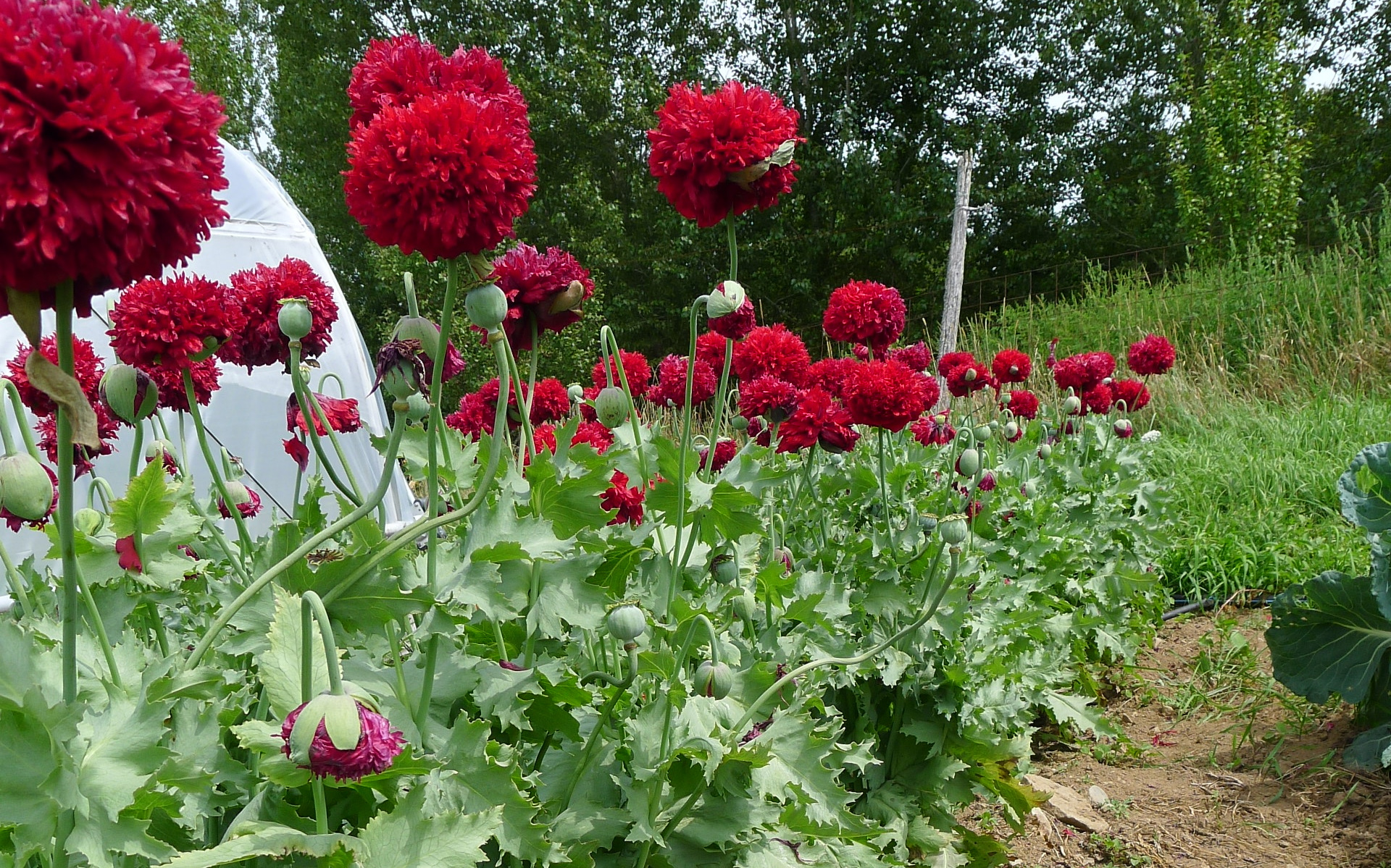 poppy in flower