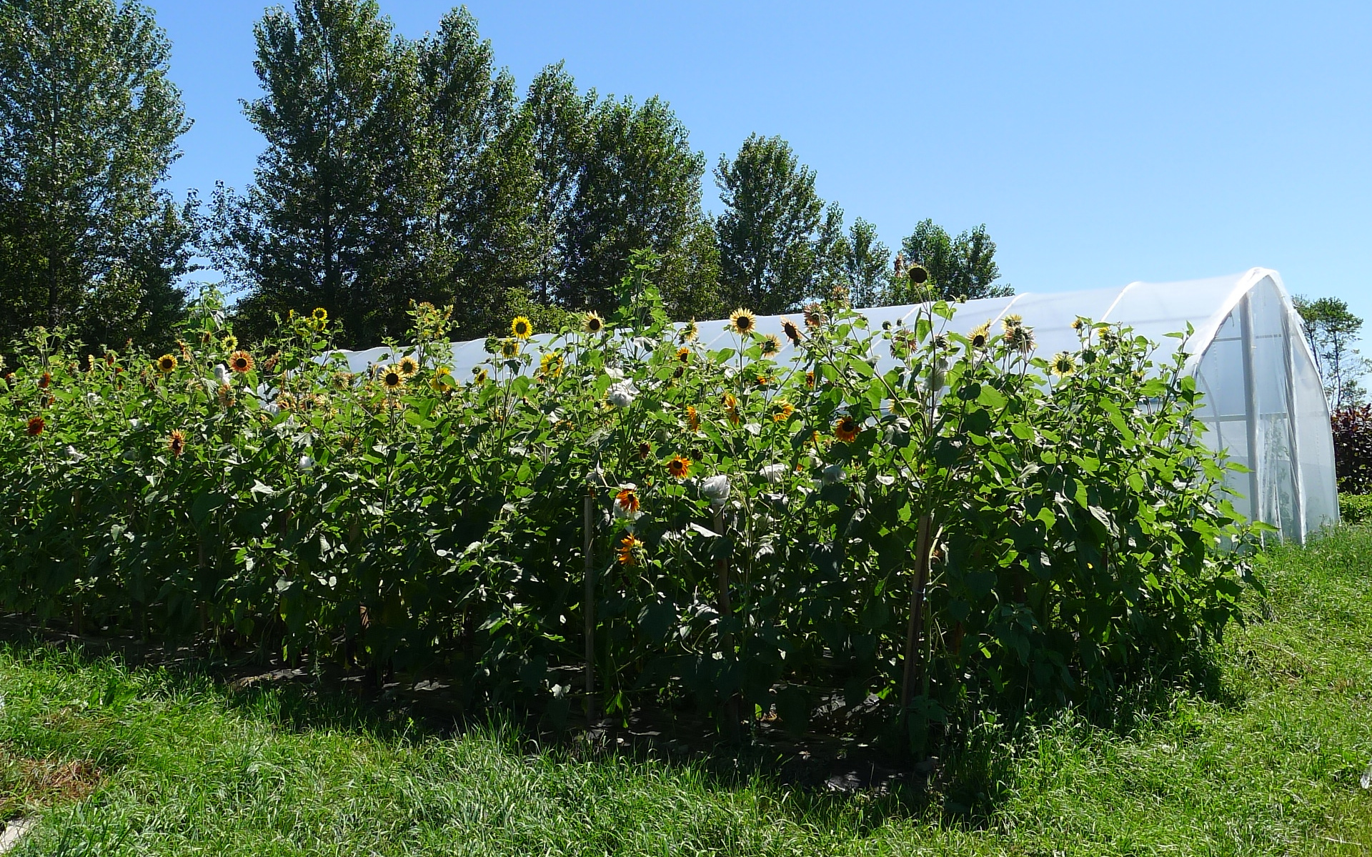 sunflower crop with tomato tunnel