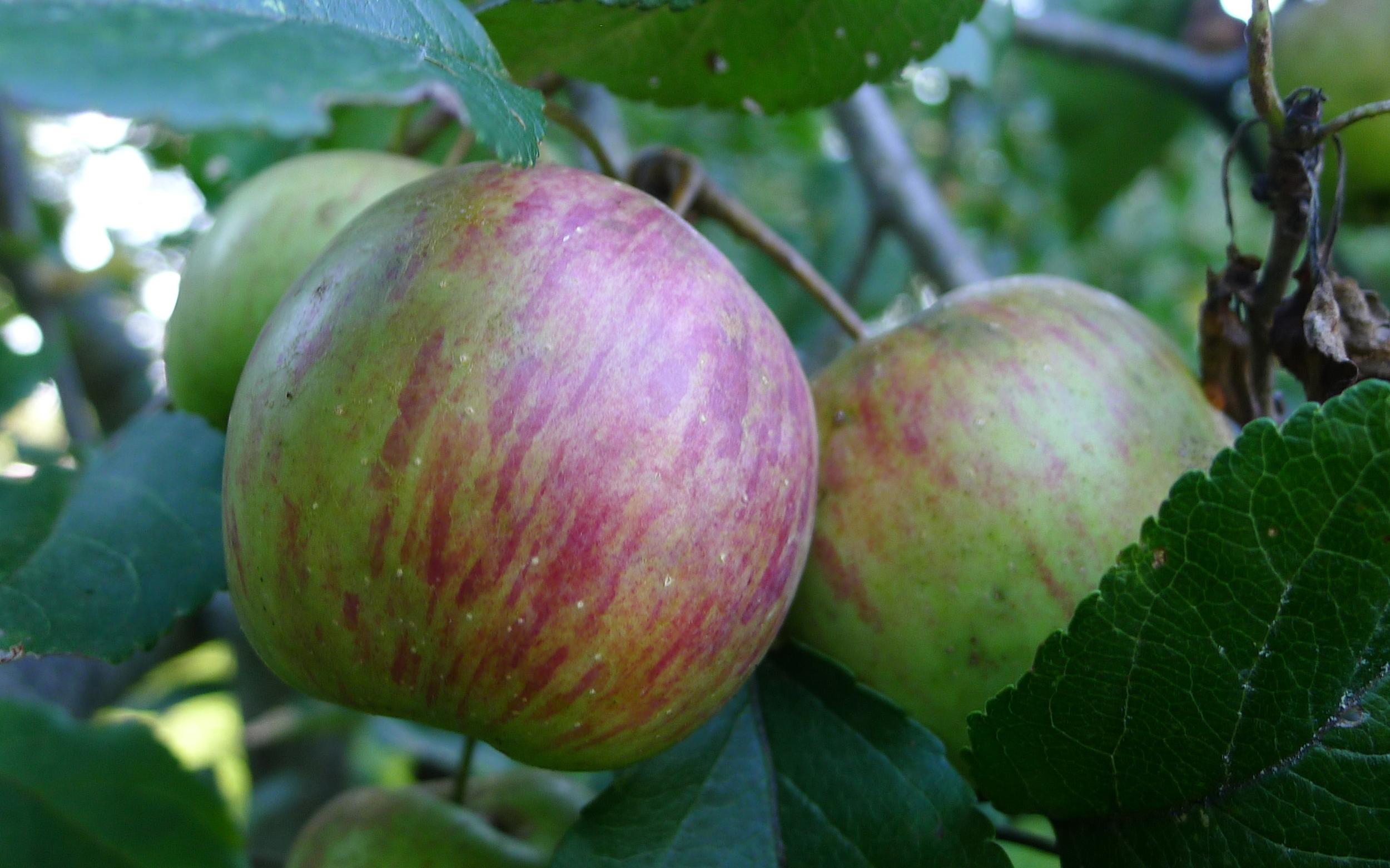 chesnut apples, ripening