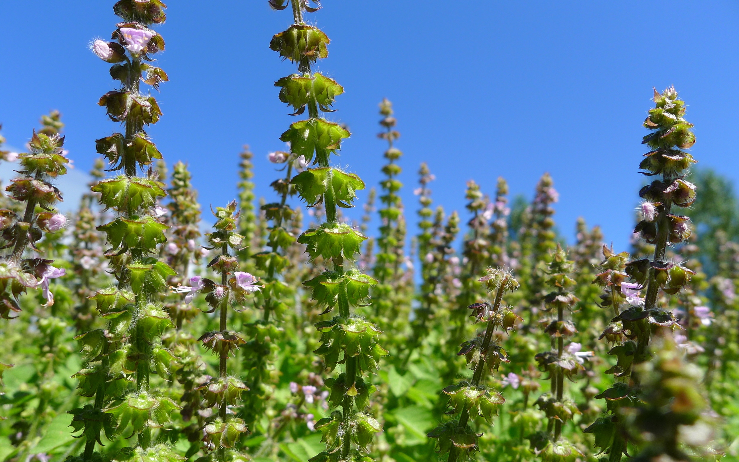 tulsi, going to seed
