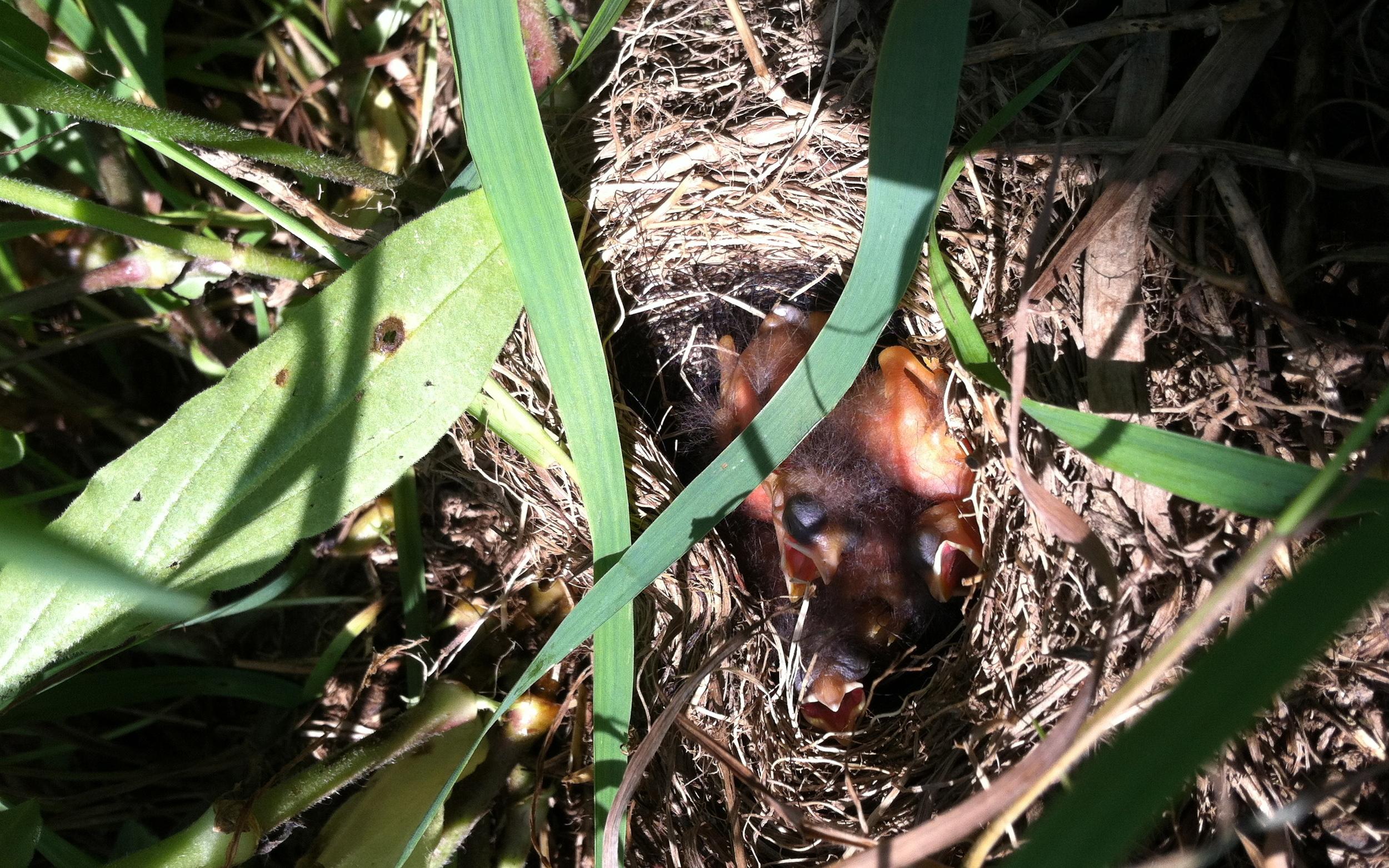 baby bobolinks in the field