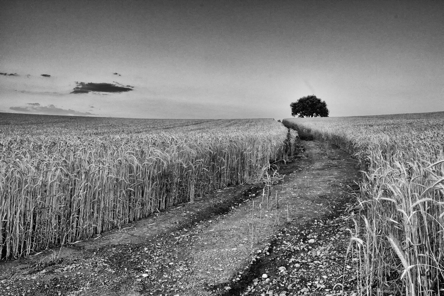 Wheat fields in the Spanish countryside.