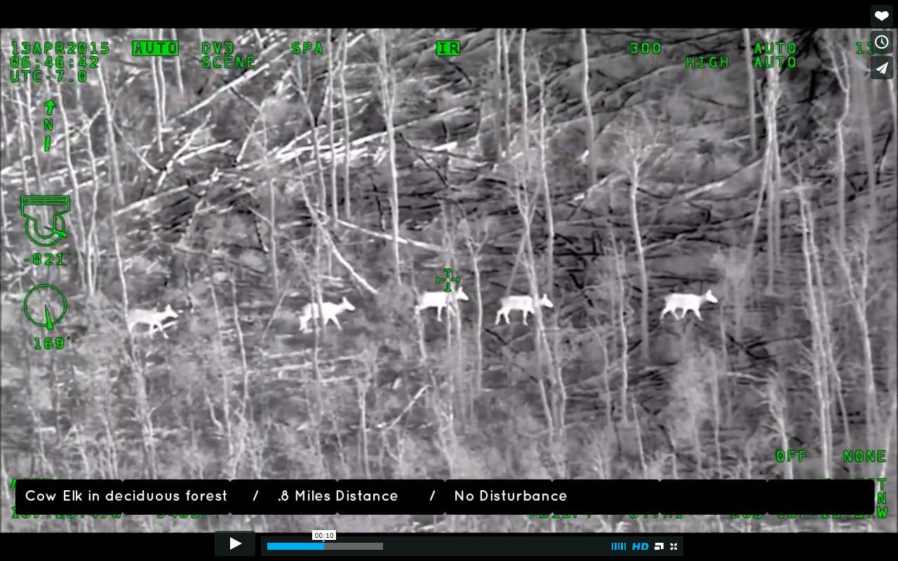 cow elk .jpg