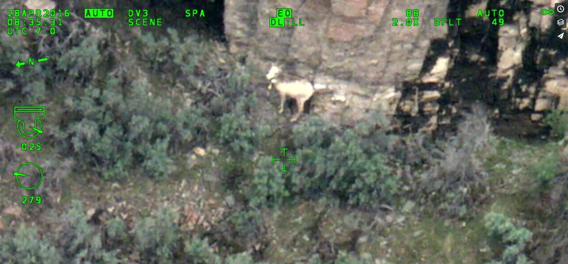 Bighorn ewe with camouflaged lamb