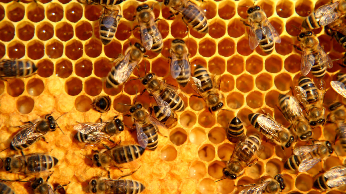 "Honeycomb Structure   A honeycomb is a mass of hexagonal wax cells built by honey bees in their nests to contain larvae, and store honey and pollen. The axes of honeycomb cells are always quasi-horizontal, and the non-angled rows of honeycomb cells are always horizontally (not vertically) aligned. Thus, each cell has two vertical walls, with ""floors"" and ""ceilings"" composed of two angled walls. The hexagonal form creates large volume spaces with the least amount of materials"