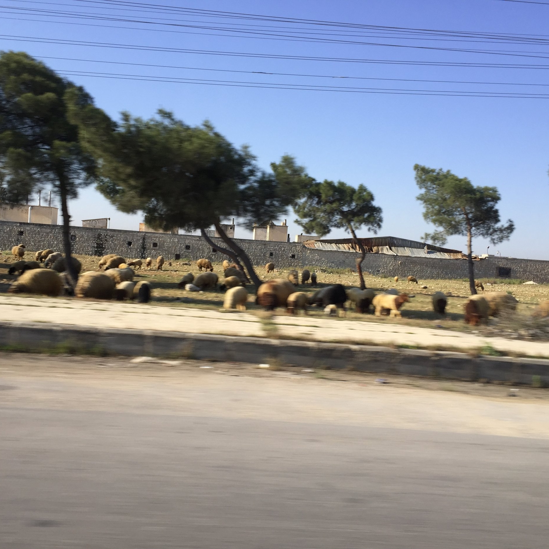 Flock of sheep on the road out of Aleppo