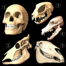 Skulls showing the comparative jaw structures and tooth shapes of - 1 human 2 cow,3  cat, 4 dog, 5 horse. Omnivores and carnivores (dogs, cats)- the structure is simple (only goes up and down) and the lower mandible is in line with the face. In herbivores (humans, cows, horses) the structures are complex, lower than the face and are capable of going from side to side.