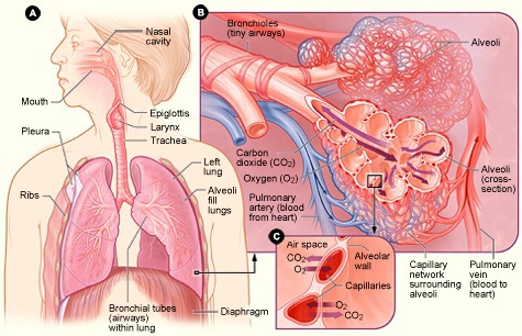 Source: http://simple.wikipedia.org/wiki/Respiratory_system