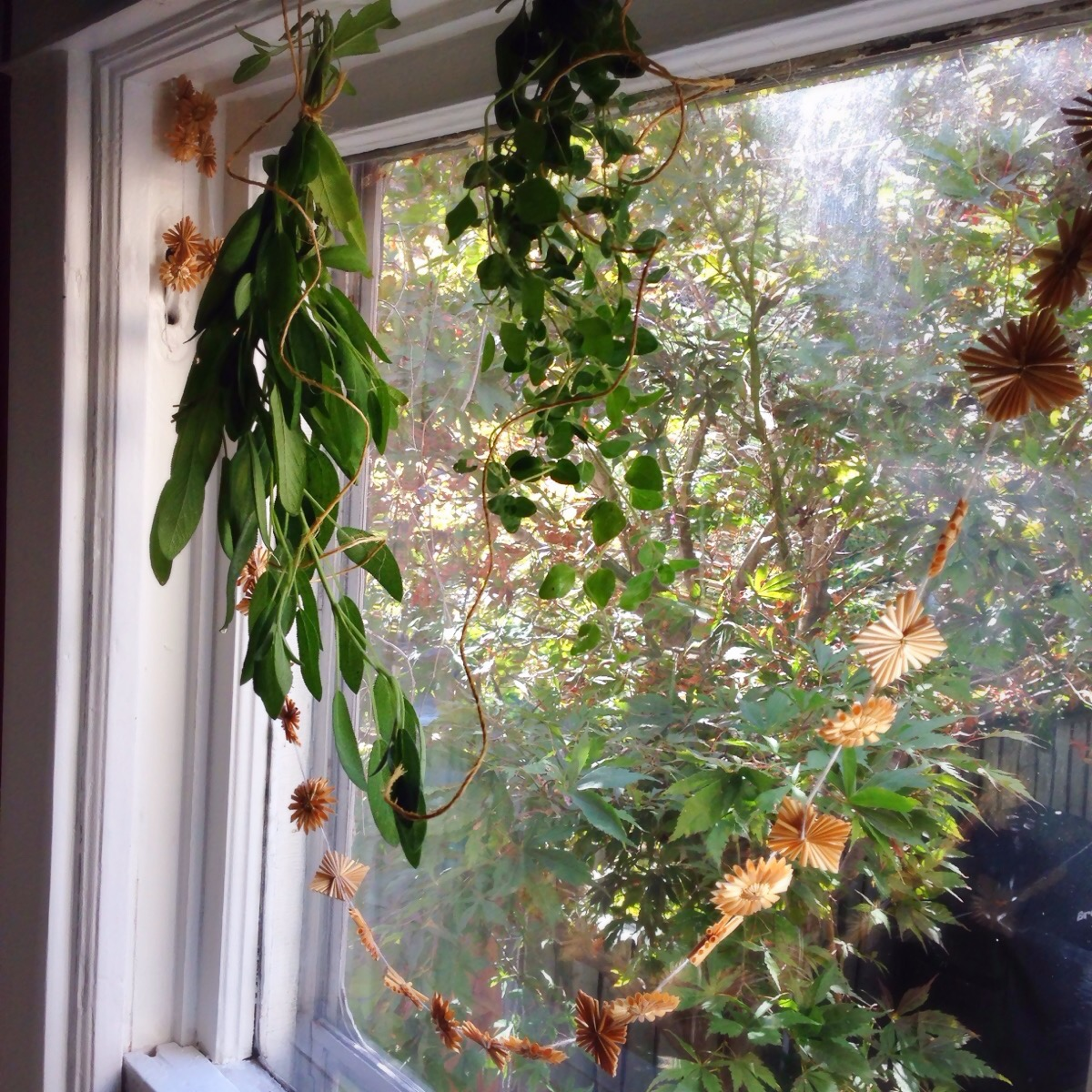 Sage and oregano bundles drying in our kitchen window