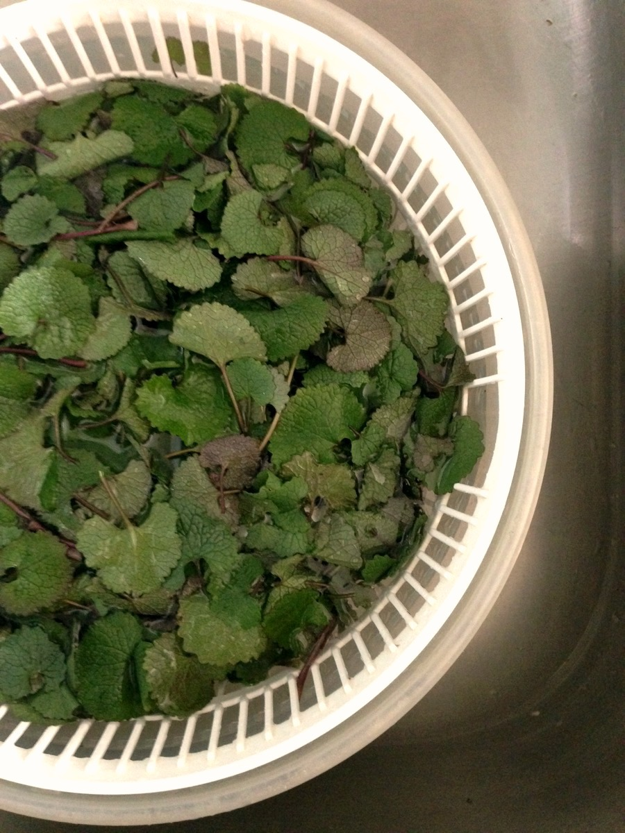 Soak garlic mustard to remove dirt and spin or pat dry to remove excess water
