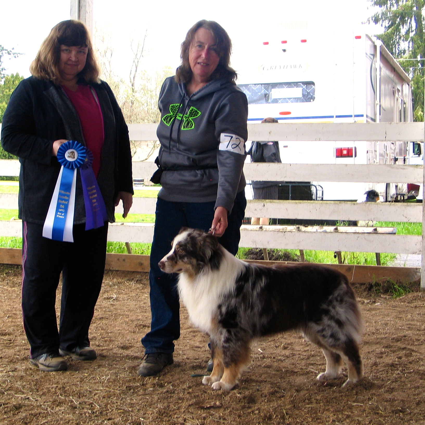 Crystal Canyon's Hammer Down winning both WD and BOW at the March 2016 Scio conformation show from the BBX class. In April, at his first agility trial, he also did very well and earned a 1st place Q in novice regular. Racer is a lovely  boy to work with. Lots of drive and a friendly, willing temperament wrapped up in a gorgeous dark liver red merle package.
