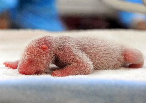 panda-baby-cub-hh01.jpg