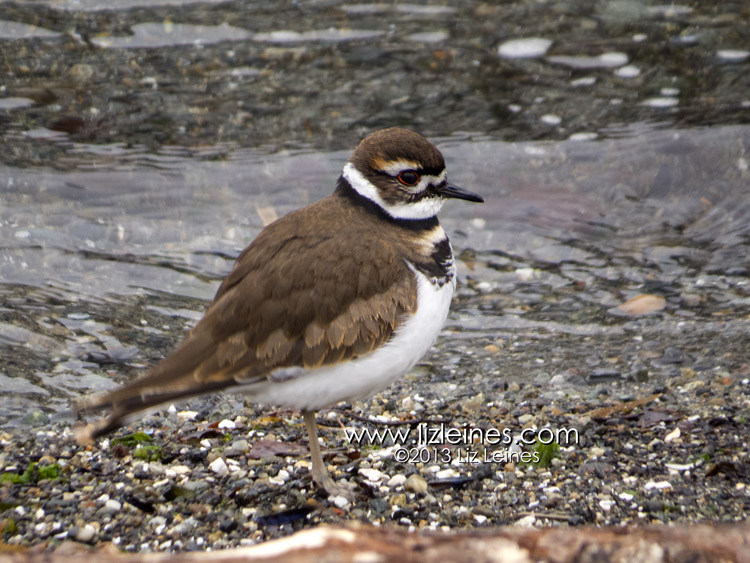 Killdeer  These little shorebirds hang out year round, but I couldn't resist photographing some of these cute birds. It was fun watching them bob their heads and run quickly along the water's edge.