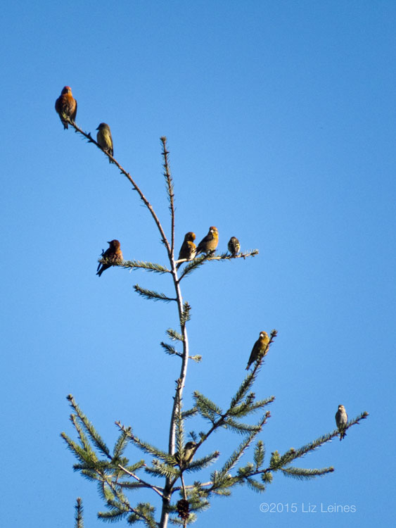 Red Crossbills perched at the top of an evergreen tree.
