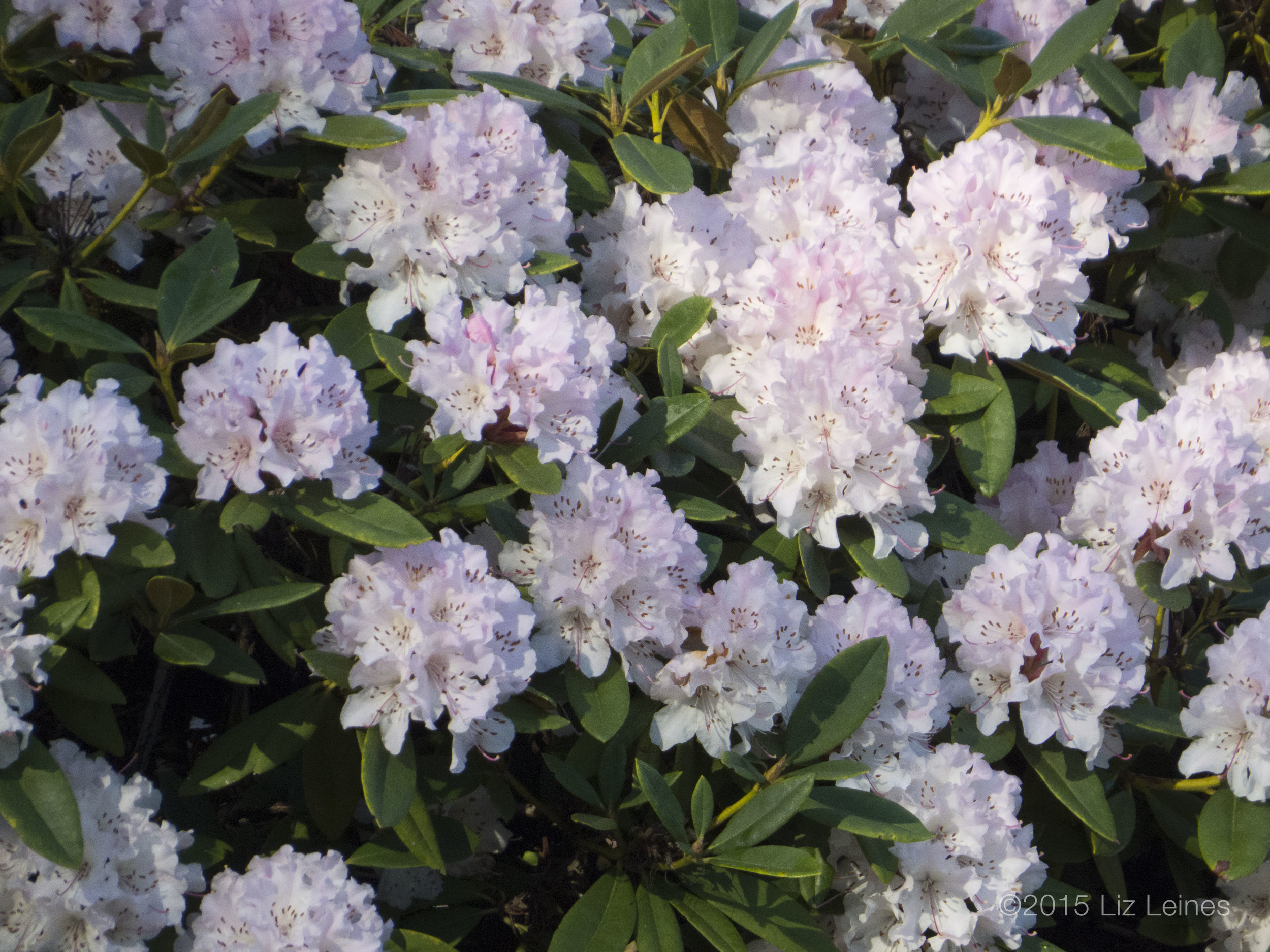 I wish I could share the lovely scent of these rhody blossoms! So wonderful!