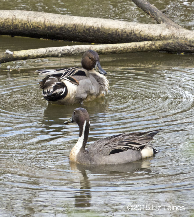 Male Northern Pintails.