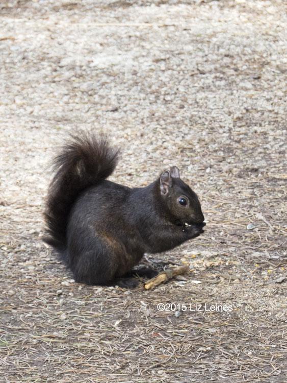 What rich, dark brown fur this little squirrel had.