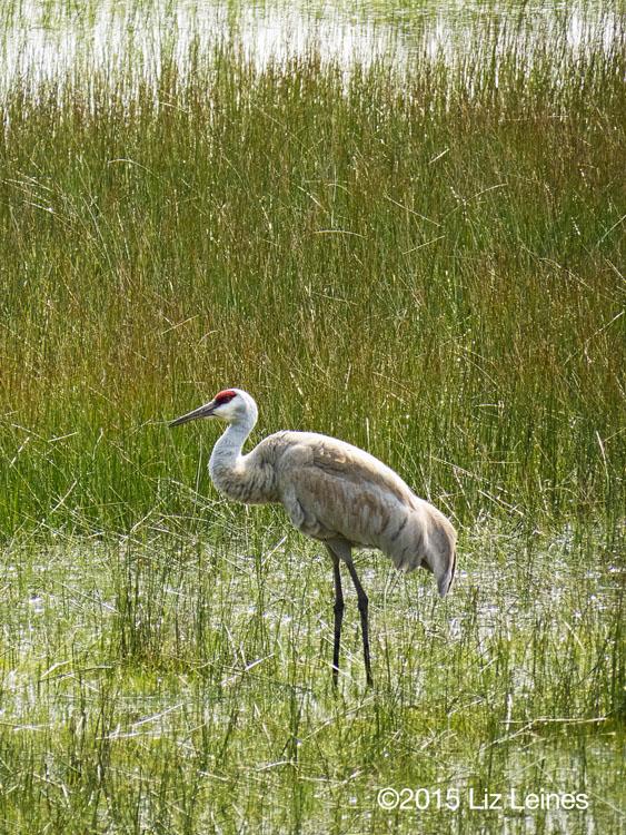 Sandhill Crane, Klammoth Lake, OR
