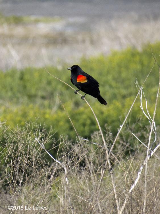 Red-winged Blackbird, Tulelake, CA