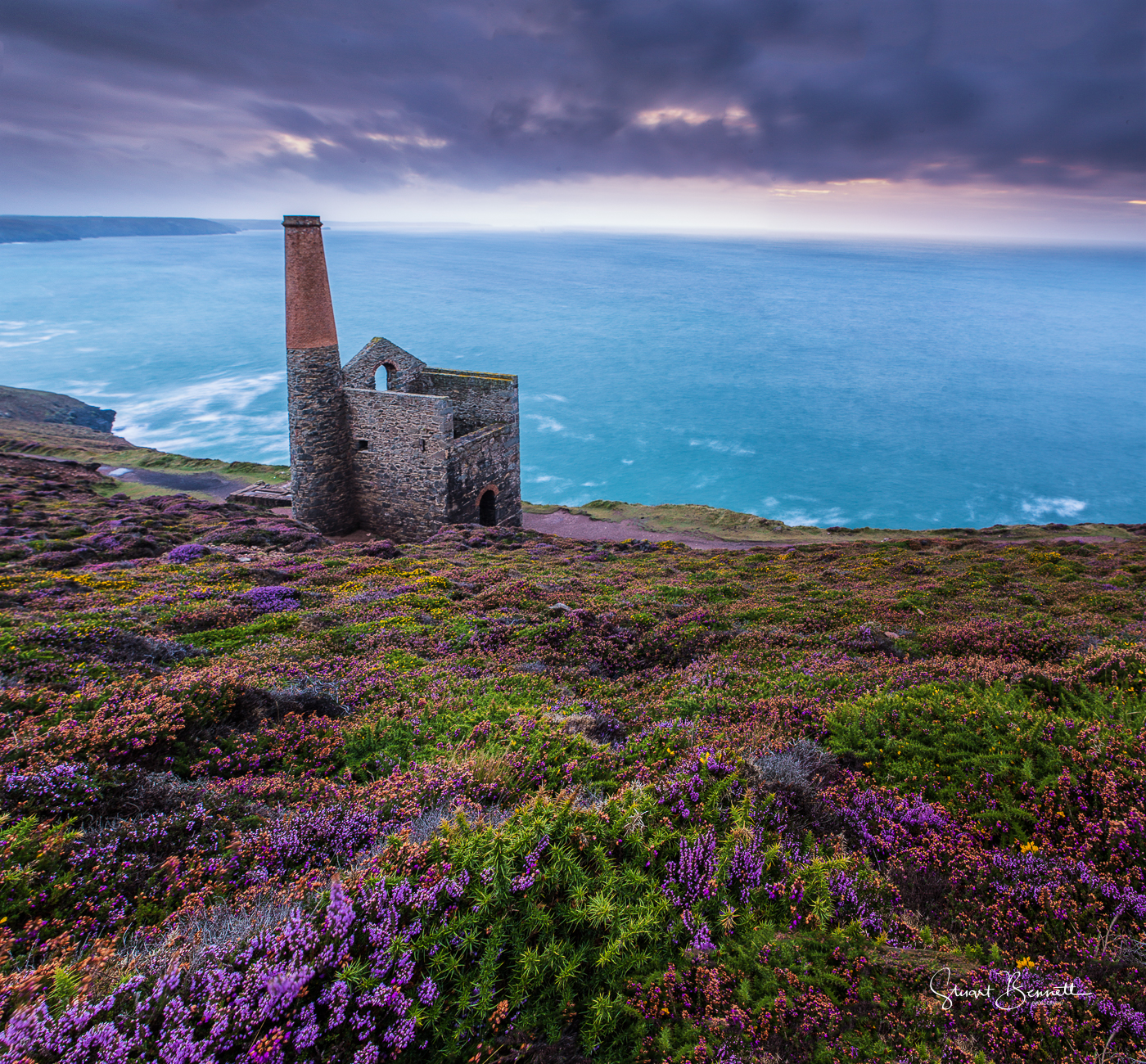 Cornish Heather in bloom.JPG