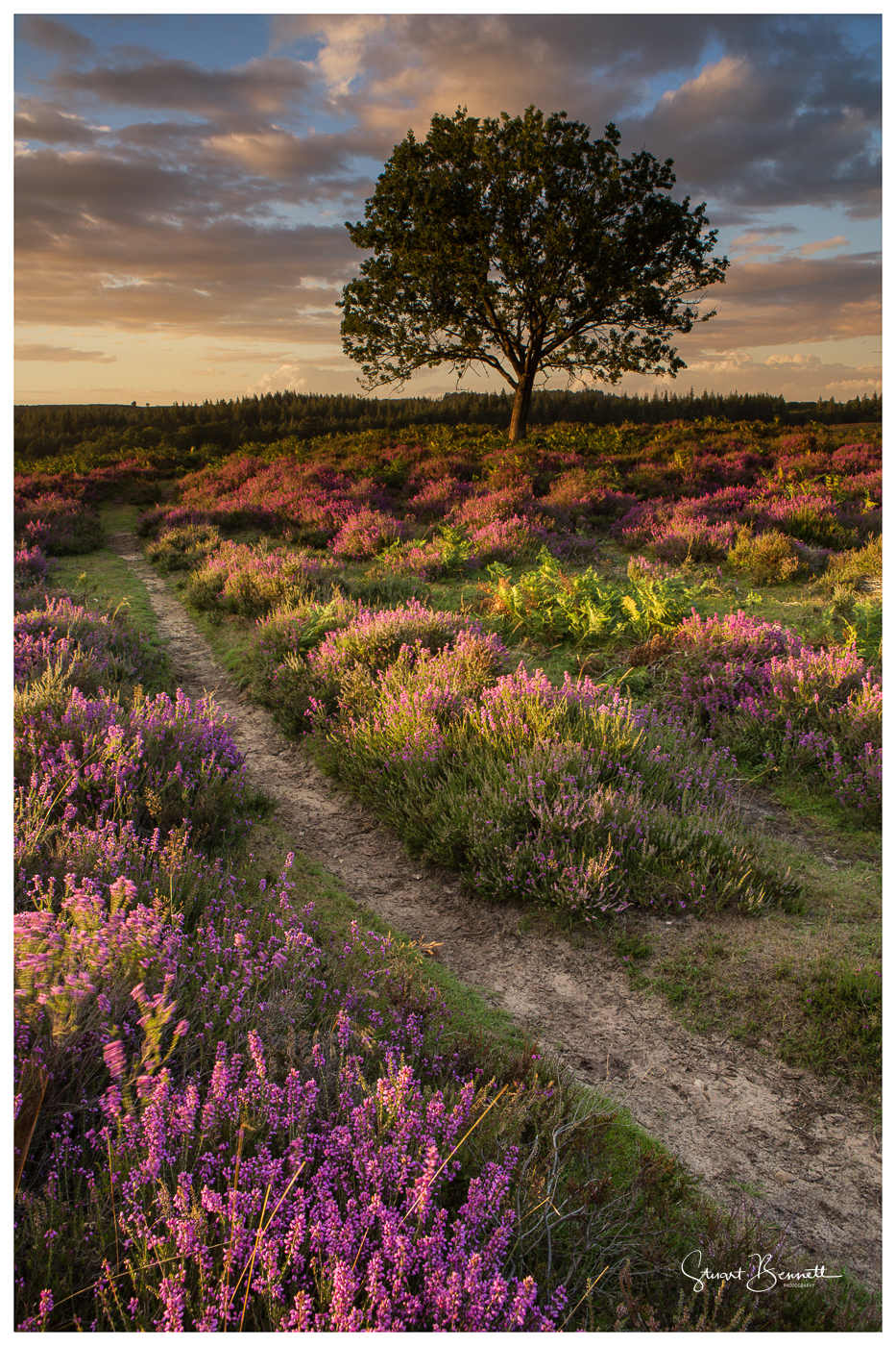 New Forest Heather Sunset (1 of 1).JPG