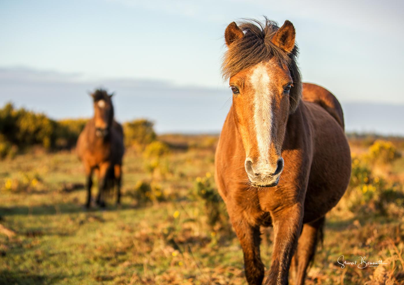 New Forest Pony's.JPG