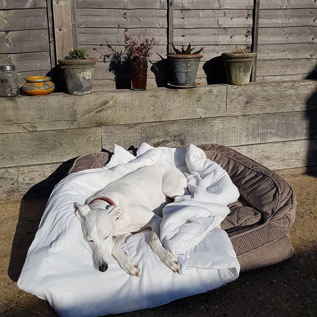 Happy Sunday everyone! #lurcher #sunbathingdog