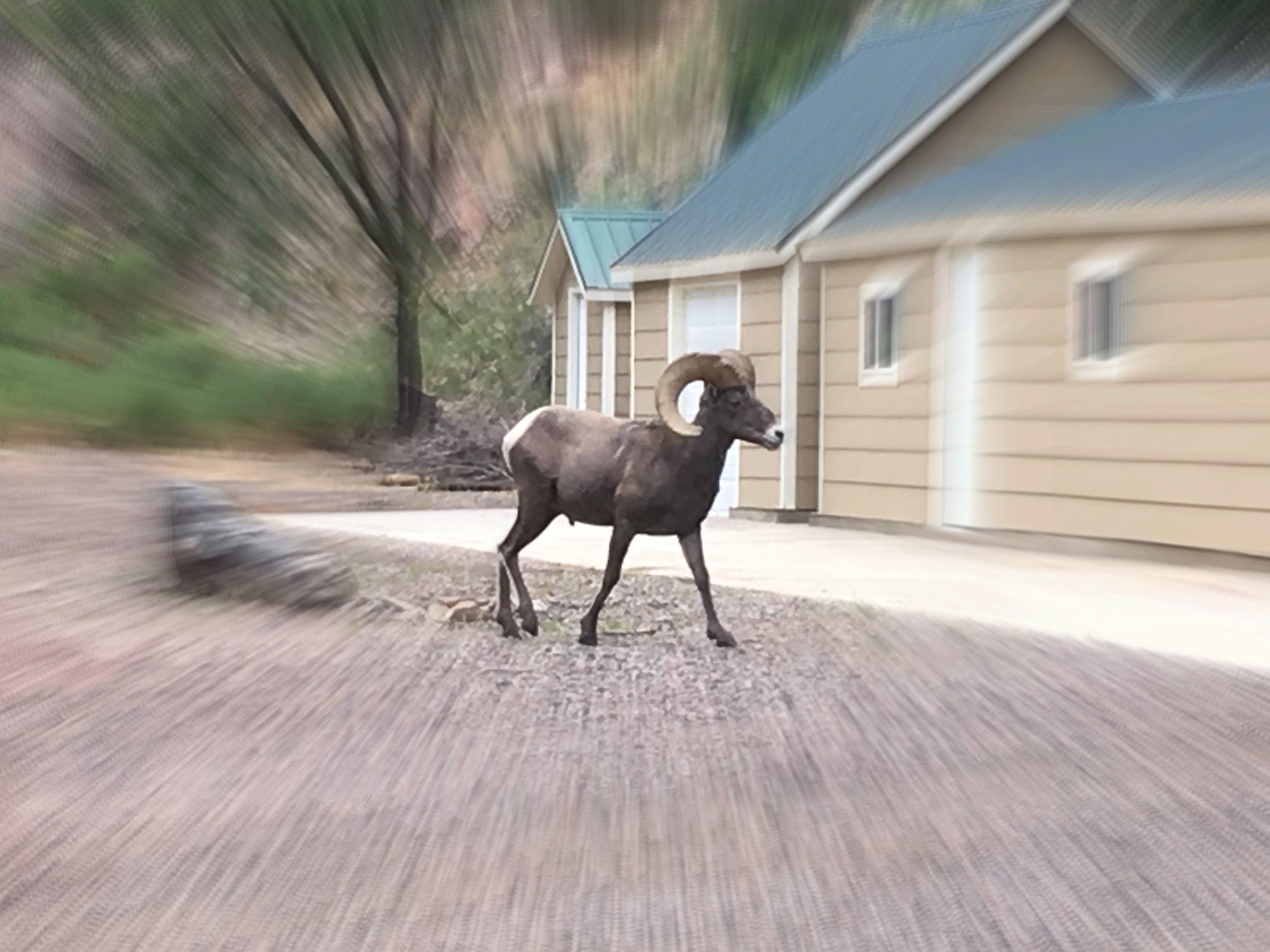 bighorn sheep 2.jpg