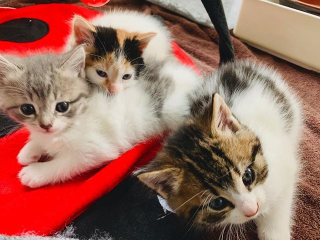 🌺Springtime foster kittens have arrived! Here's our first bunch🐱🐱🐱Michele, Shelley, & brother Geoff. 😻Mama Patti (not pictured yet) is a sweet calico rearing her family safely in my spare room. She's a wonderful houseguest. It's rewarding to help animals— fun too❣️Fostering saves lives— kittens are cute, but please spay ur animals so everyone can have the 🏡 they deserve.  #adoptDontShop #FAMD #FosterMom #spayDay #kittens #catsofInstagram