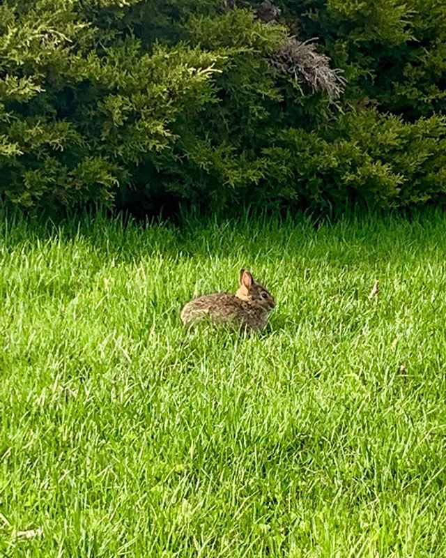 ✨This baby bunny was grazing at my mom's house today. Live long & prosper, little one💗✨✨ #wildlife #babybunny #springtime #LoveAllCreatures