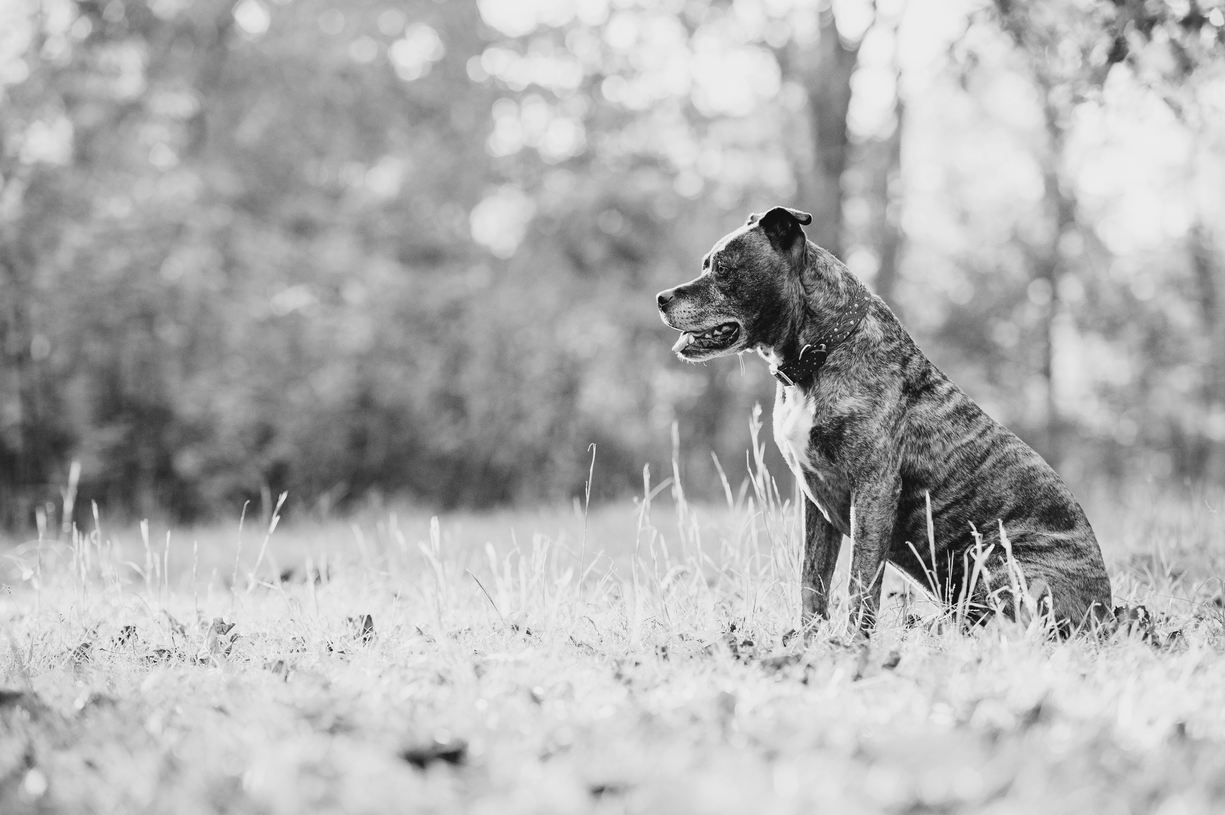 Adopted Pit Bull Pittsburgh Photography