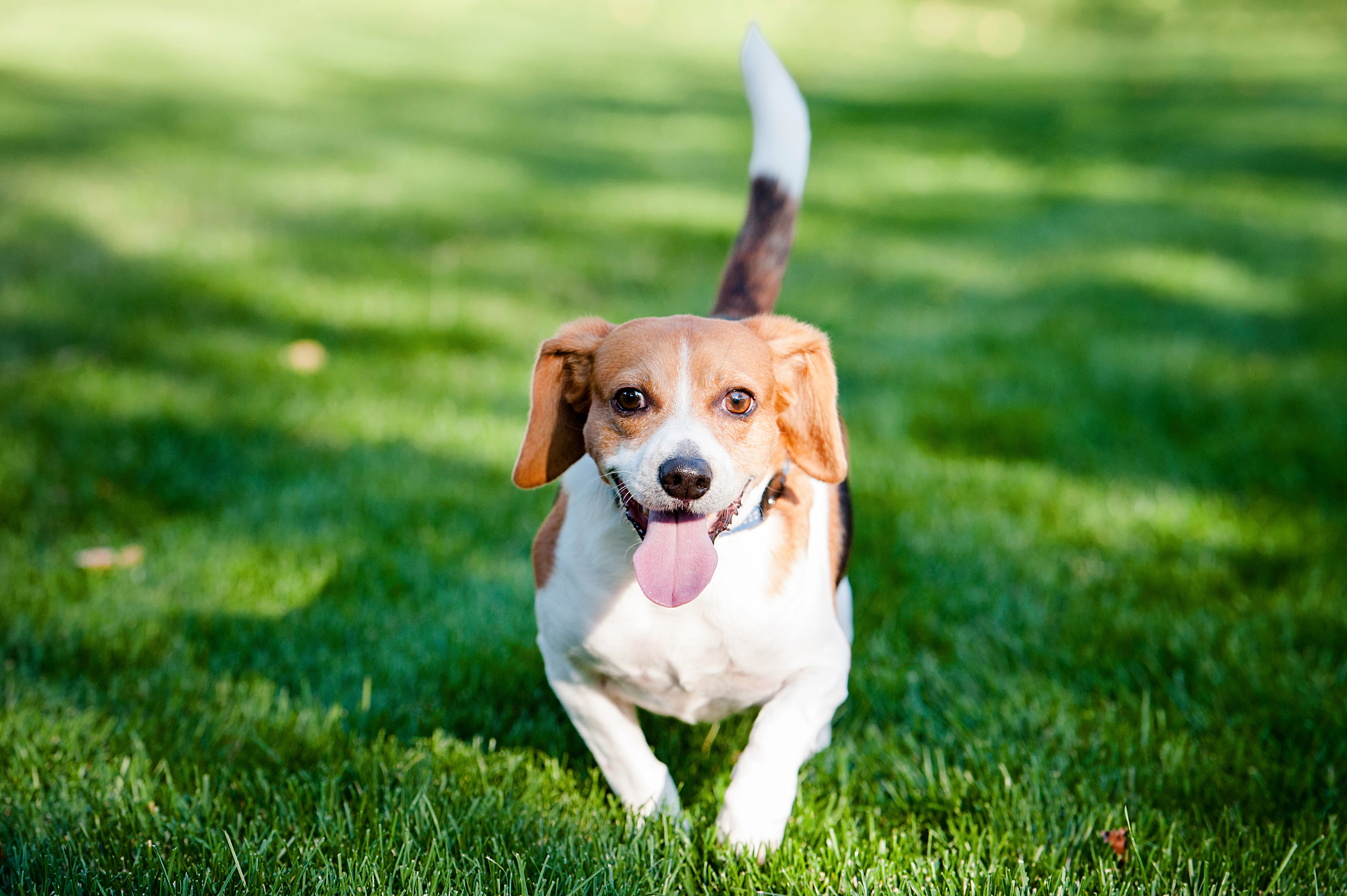 dexter jack-a-bee dog photography pittsburgh 003.jpg