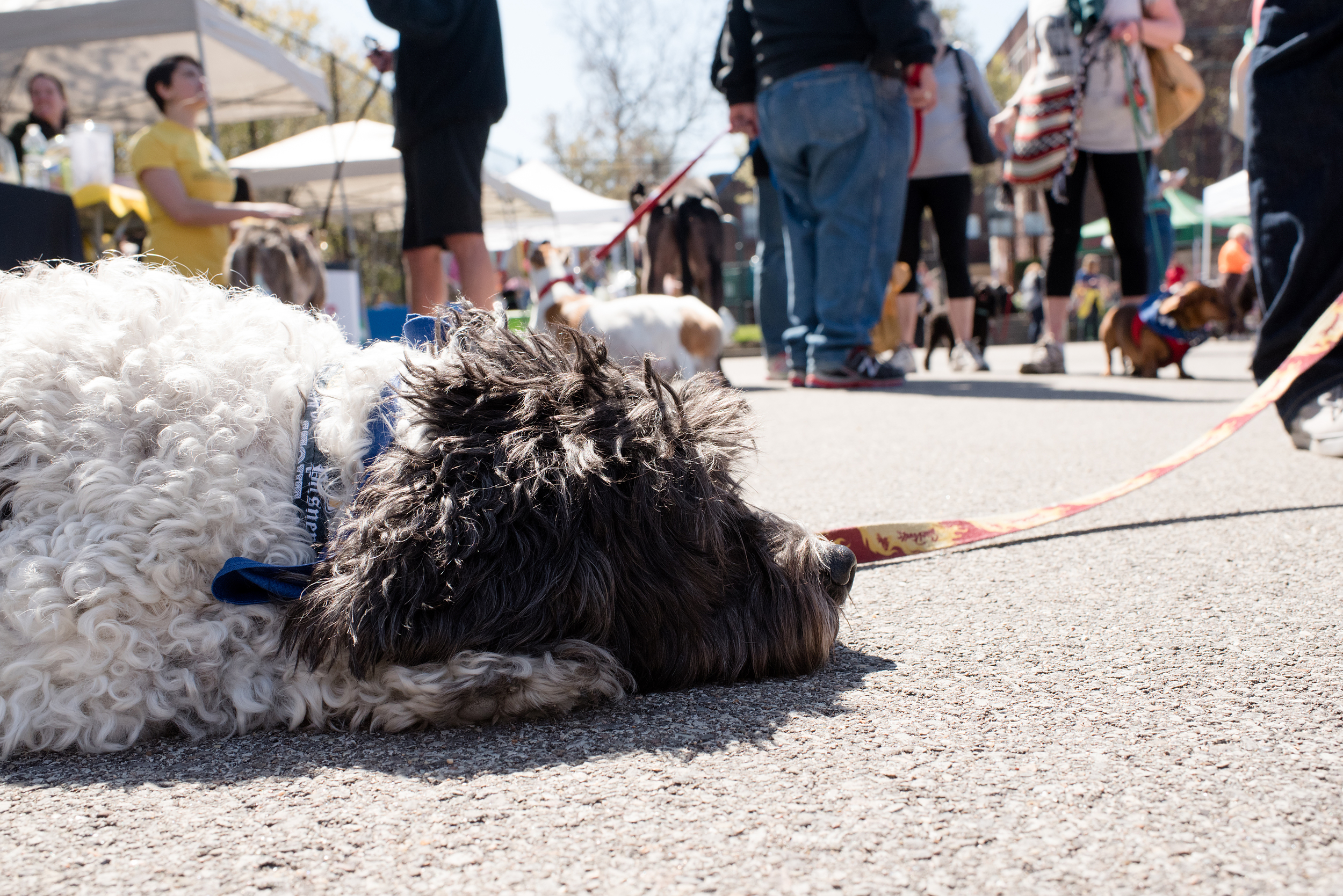 Bark Shadyside Pup Walk Pittsburgh 2016 168.jpg
