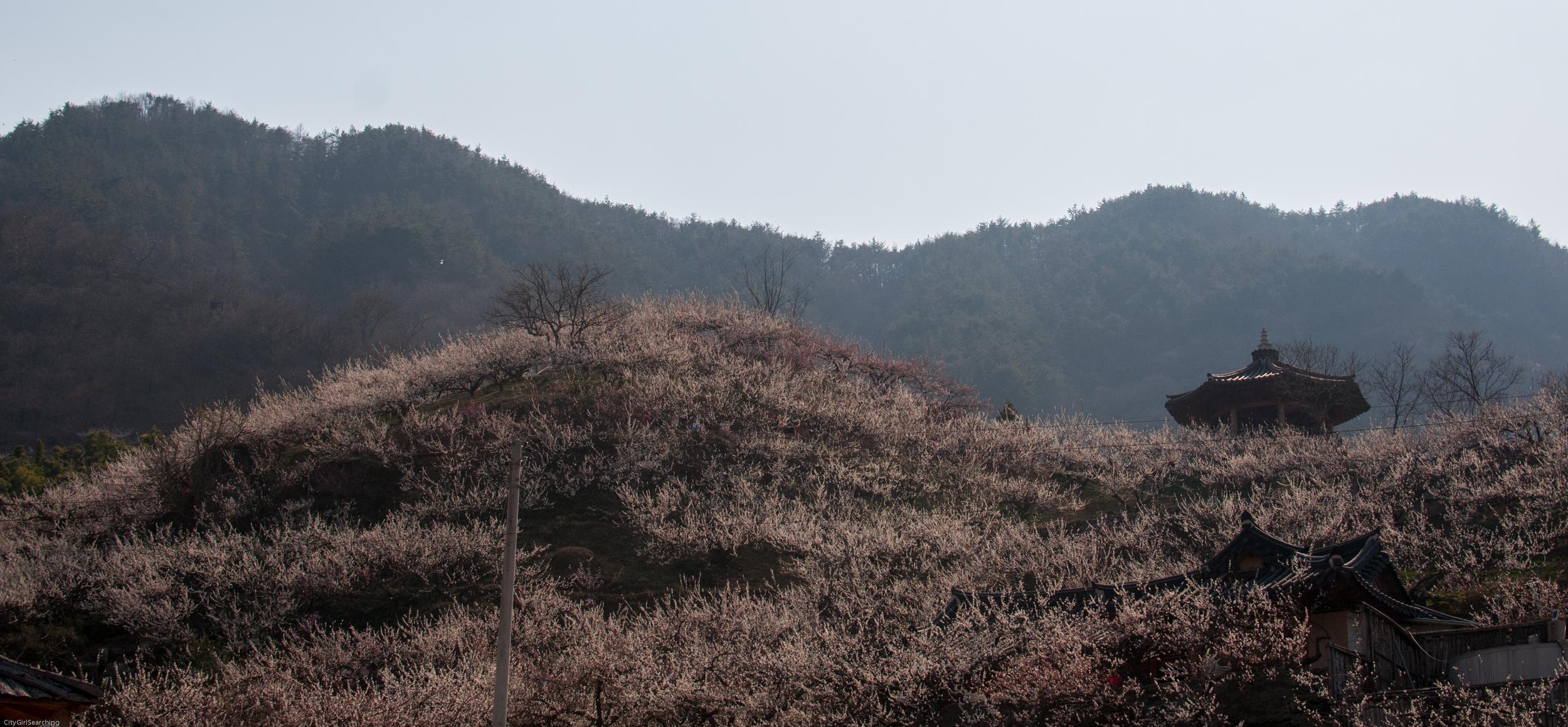 SouthKoreaCherryBlossomsMaewhaFestivalCityGirlSearching (16 of 22).jpg