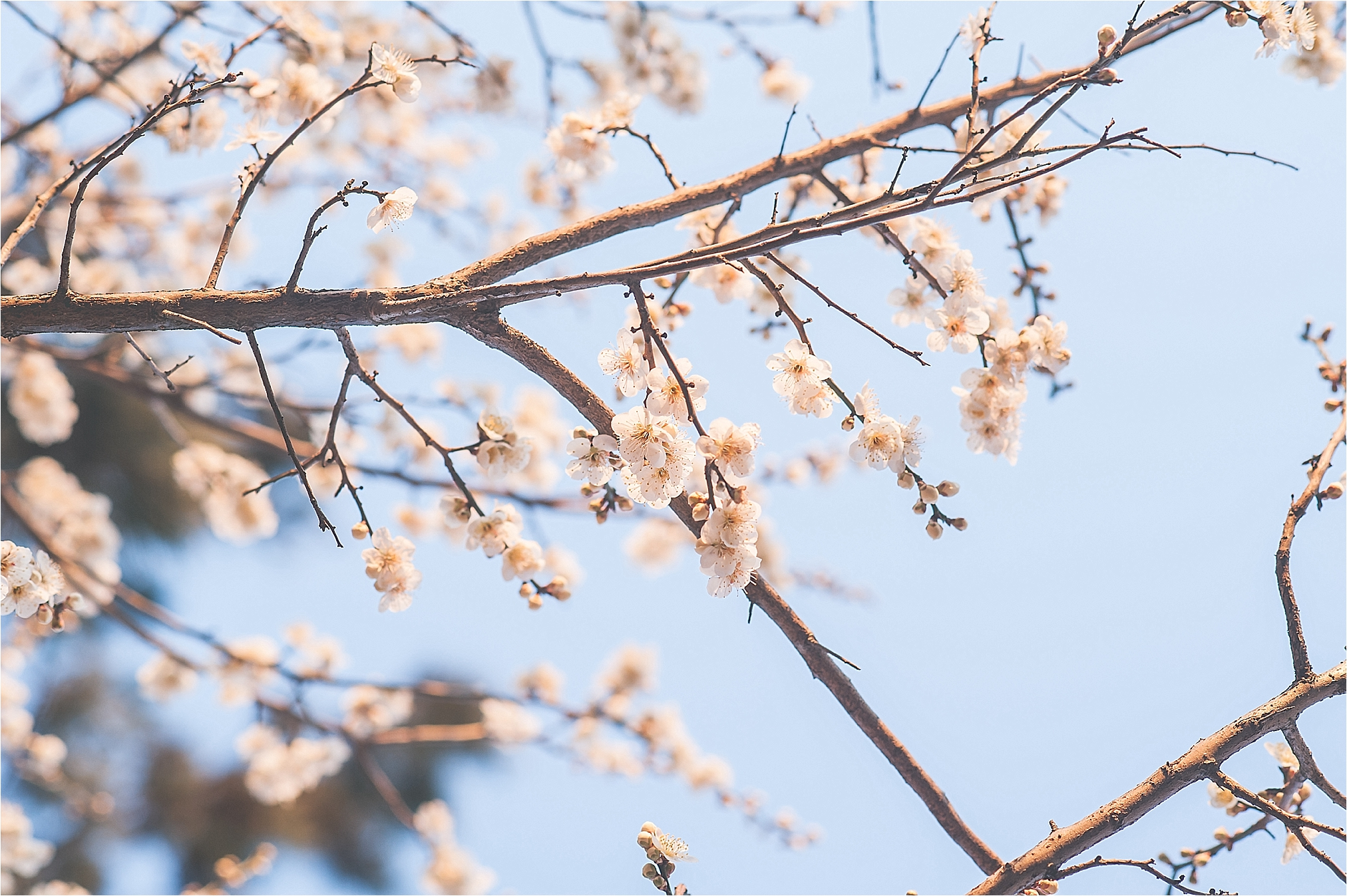 SpringBlossomsInSouthKorea_0023.jpg