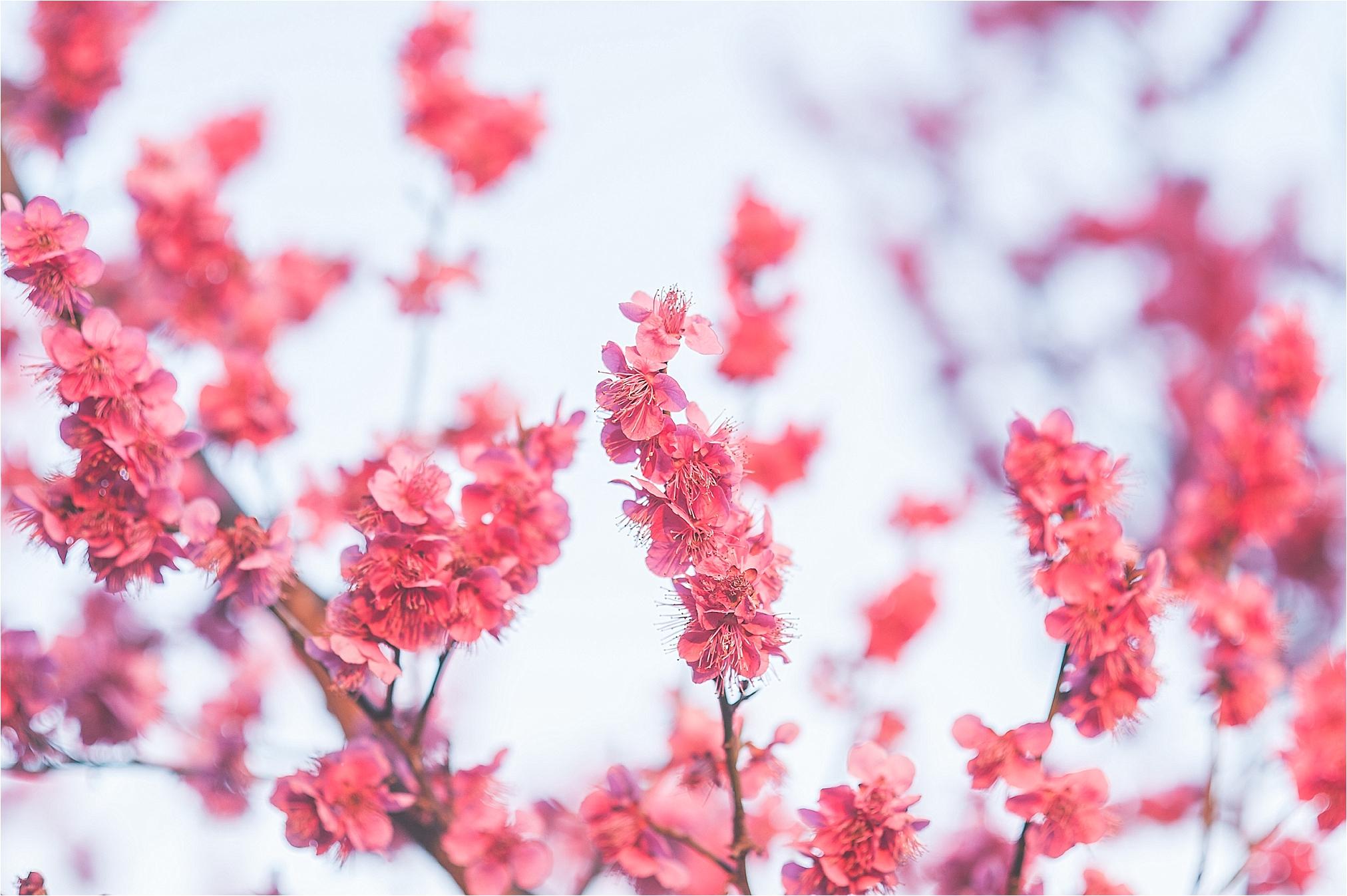 SpringBlossomsInSouthKorea_0030.jpg