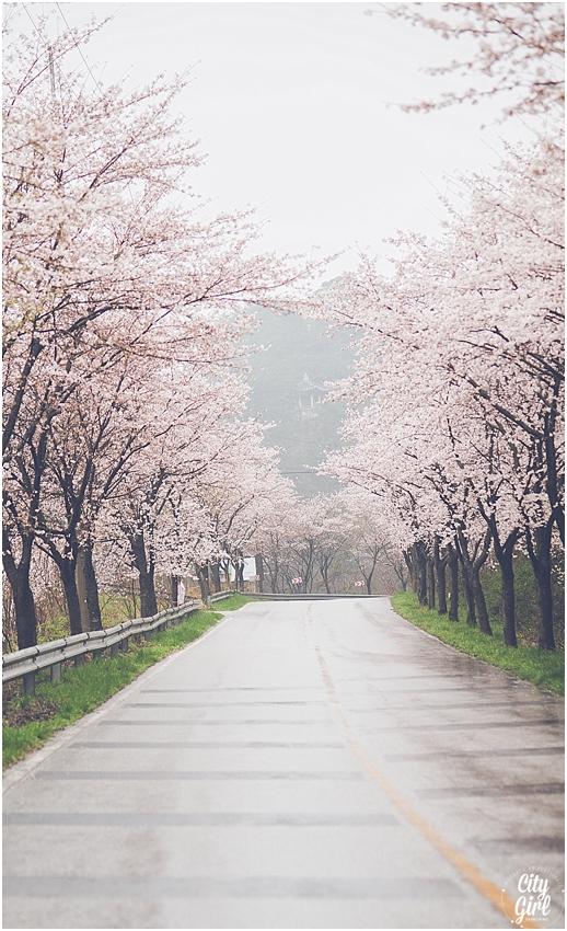 CherryBlossomsinSouthKorea_0068.jpg