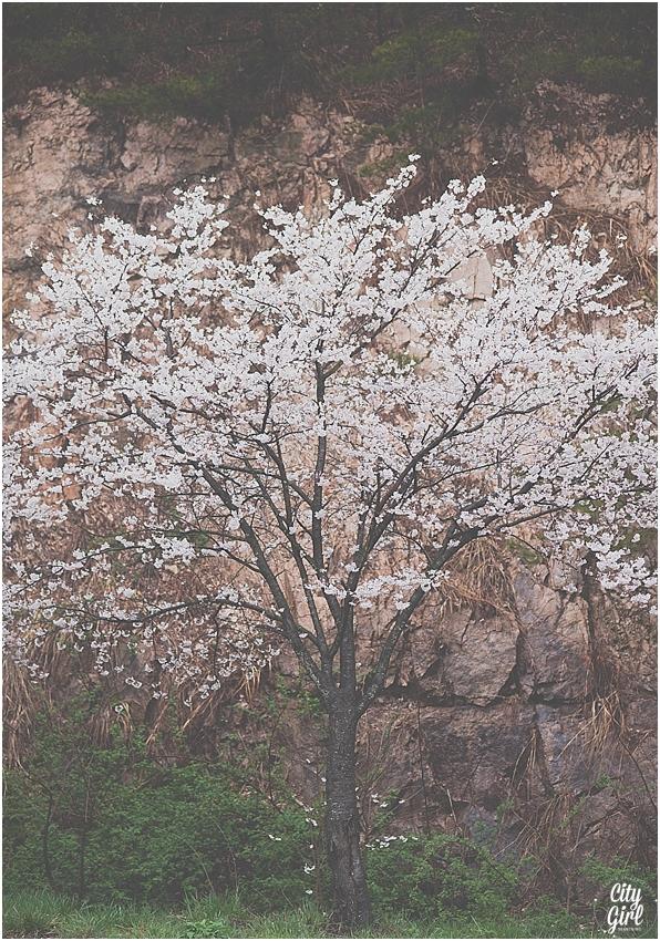 CherryBlossomsinSouthKorea_0072.jpg