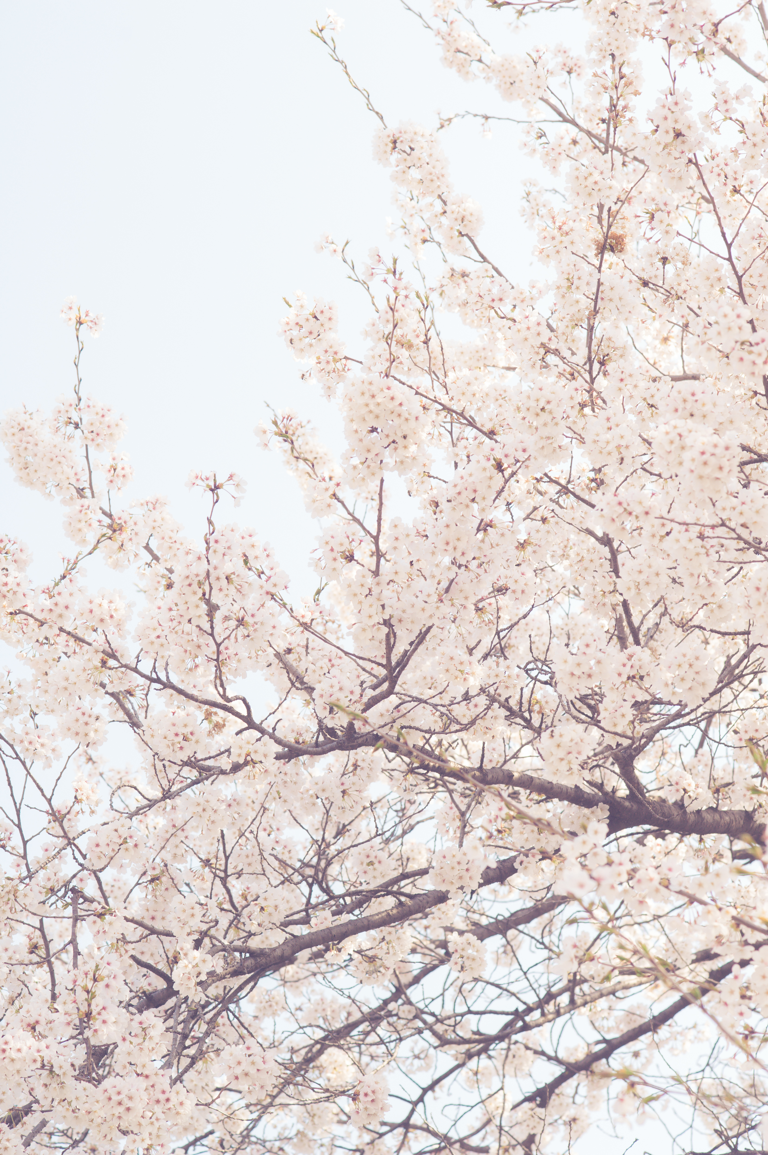 CherryBlossomStyledShootKoreaAlyshaCGSPhotography (40 of 57).jpg